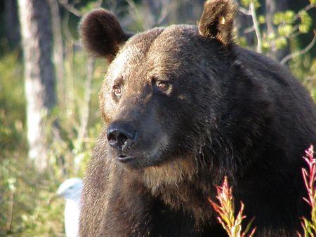 Selvatici orso bruno in Finlandia vicino confine con la Russia
