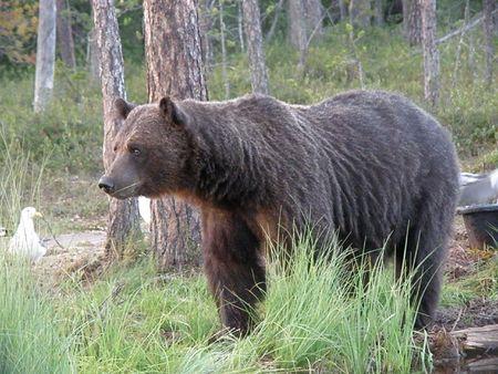 Wild Brown Bear in Finlandia, nei pressi del confine russo Archivio Fotografico