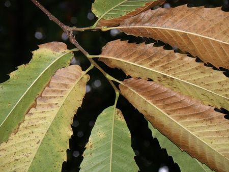 landslip: Autumn Chestnut leaves