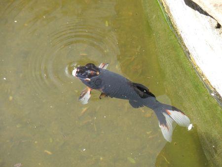 aberdares: Kenya Safari, Tropical Goldfish Stock Photo