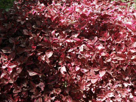 aberdares: Kenya Safari, Red Leaves Stock Photo