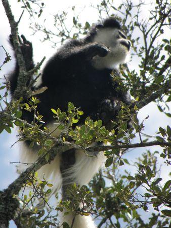 Kenya Safari, Colobus Monkey Stock Photo - 3815654