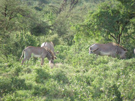 Kenya Safari, Grevys Zebra in Samburu Stock Photo - 3815671