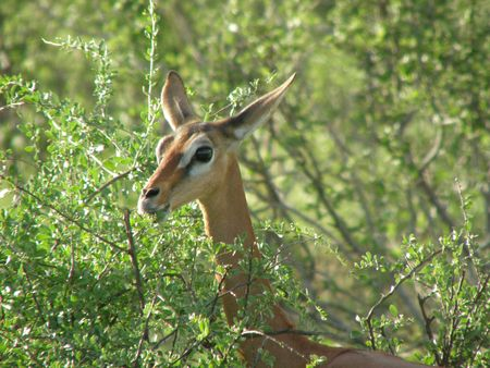 aberdares: Kenya Safari, Gerenuk in Samburu Stock Photo