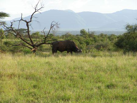 Kenya Safari, Buffalo in Samburu Stock Photo - 3815655