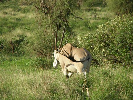 aberdares: Kenya Safari, Oryx in Samburu Stock Photo
