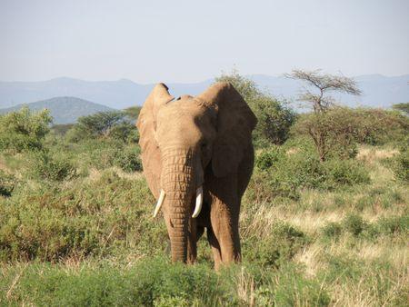 Kenya Safari, Elephant in Samburu Stock Photo - 3815668