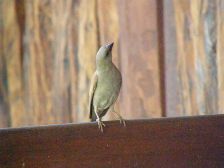predetor: Kenya Safari, Uccelli di Samburu