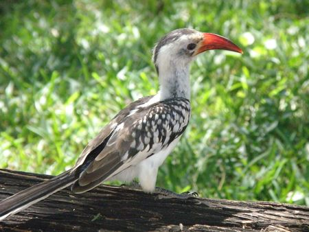 lake naivasha: Kenya Safari, Red Billed Hornbill in Samburu