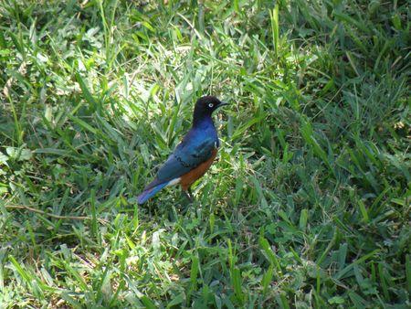 aberdares: Kenya Safari, Splendid Starling in Samburu