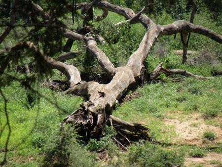 Kenya Safari, Fallen Tree in Samburu photo