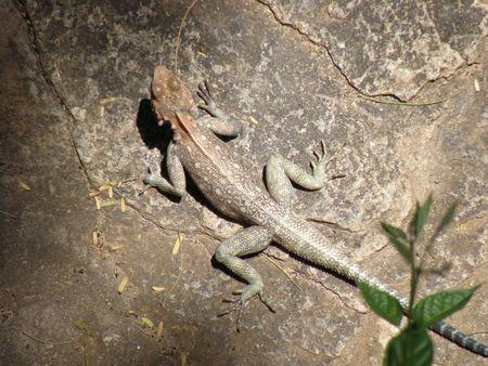 aberdares: Kenya Safari, Lizard in Samburu