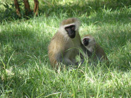 predetor: Kenya Safari, Vervet scimmia in Samburu Archivio Fotografico