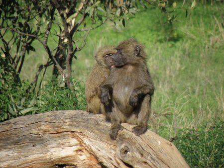 aberdares: Kenya Safari, Baboon in Samburu Stock Photo