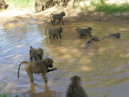 lake nukuru: Kenya Safari, Baboon in Samburu Stock Photo