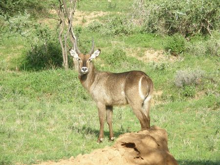 predetor: Kenya Safari, in Waterbuck Samburu Archivio Fotografico