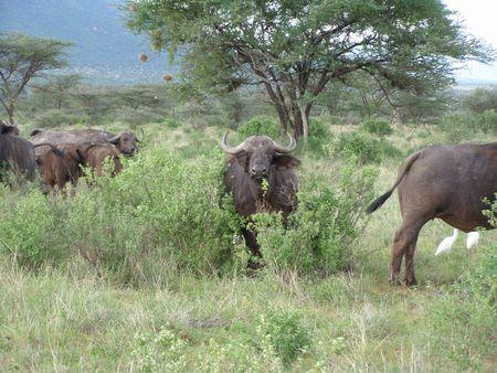 Kenya Safari, Buffalo in Samburu Stock Photo - 3815773