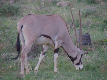 nukuru: Kenya Safari, Oryx in Samburu Stock Photo