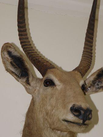 aberdares: Waterbuck Head