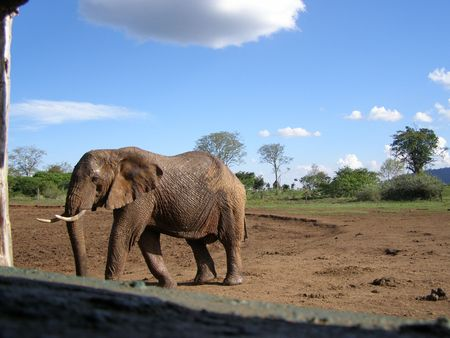 predetor: Kenya Safari, Elephant at Treetops