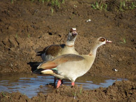 treetops: Kenya Safari, Egyptian geese at Treetops