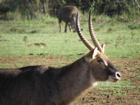 predetor: Kenya Safari, Male Waterbuck at Treetops Stock Photo