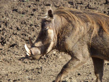 predetor: Kenya Safari, Warthog a Treetops