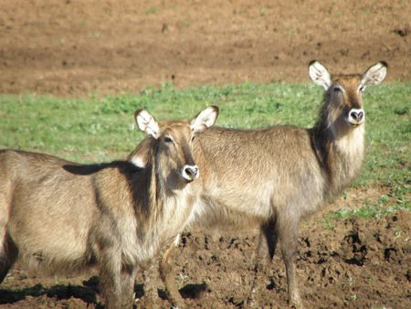 predetor: Kenya Safari, Waterbuck at Treetops