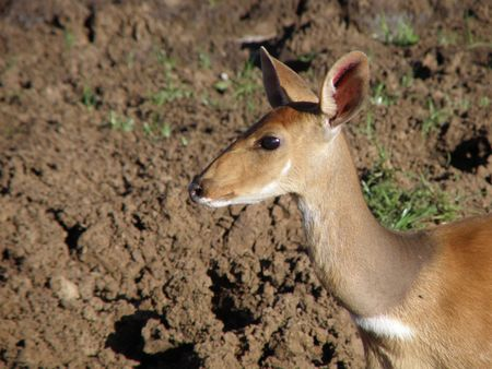 predetor: Kenya Safari, Bushbuck at Treetops Stock Photo