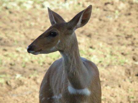 predetor: Kenya Safari, Bushbuck a Treetops Archivio Fotografico