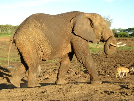 lake nukuru: Kenya Safari, Elephant at Treetops