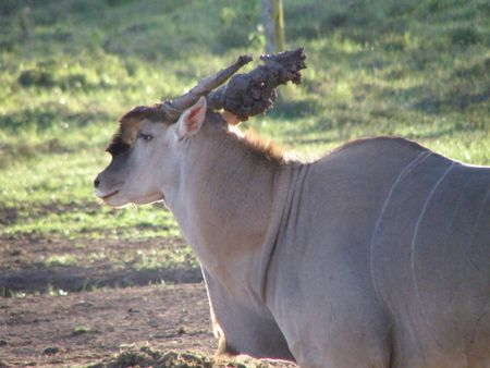 predetor: Kenya Safari, Oryx a Treetops fangoso con le corna