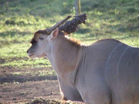 predetor: Kenya Safari, Oryx at Treetops with muddy horns
