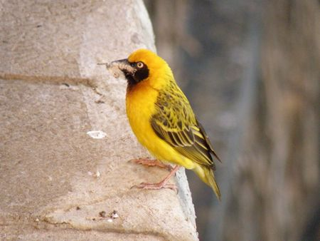 weaver bird: Kenya Safari, Weaver Bird at Treetops