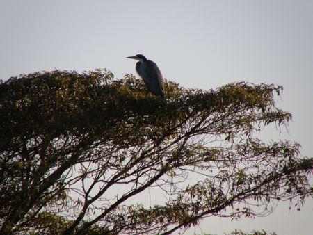predetor: Kenya Safari, Grey Heron a Treetops Archivio Fotografico