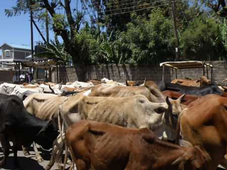 Kenya Safari, Cattle In Nakuru photo