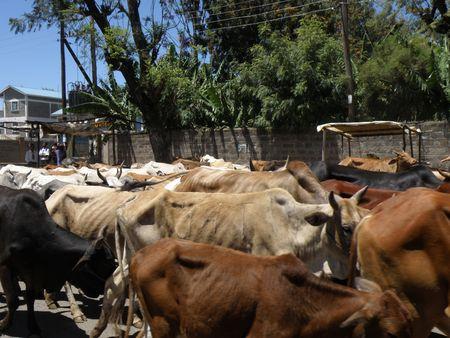 lake nukuru: Kenya Safari, Cattle In Nakuru Stock Photo