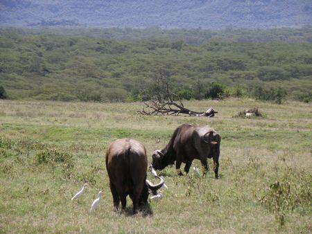 lake nukuru: Kenya Safari, Buffalo in Nakuru