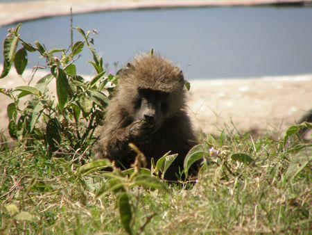 aberdares: Kenya Safari, Baboon in Nakuru