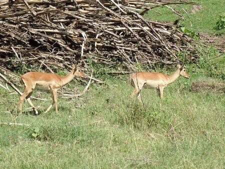 aberdares: Kenya Safari, Impala in Nakuru