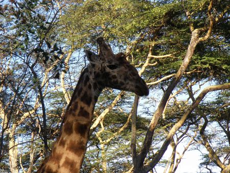 Kenya Safari, Rothschild Giraffe at Lake Naivasha photo