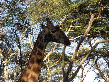lake nukuru: Kenya Safari, Rothschild Giraffe at Lake Naivasha Stock Photo