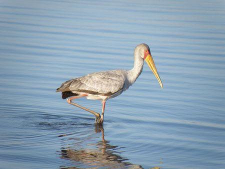 lake nukuru: Kenya Safari, Yellow Billed Stork at Lake Naivasha