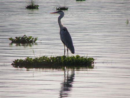 samburu: Kenya Safari, Grey Heron at Lake Naivasha