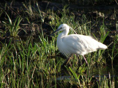 aberdares: Kenya Safari, Egret on Lake Naivasha Stock Photo