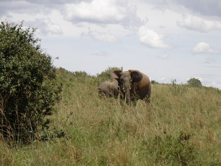 predetor: Kenya Safari, elefante nel Masai Mara