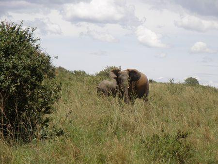 lake nukuru: Kenya Safari, Elephant in Masai Mara Stock Photo