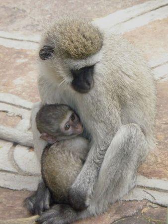 Kenya Safari, Vervet Monkey and baby in Masai Mara Stock Photo - 3815731