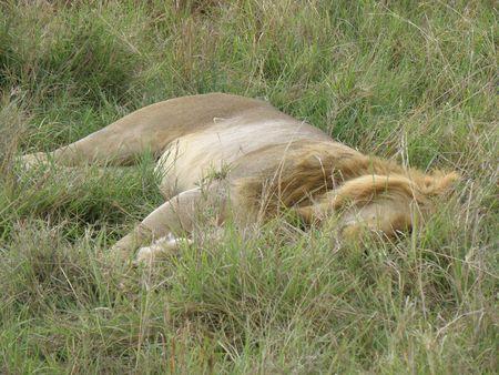 aberdares: Kenya Safari, Lion in Masai Mara