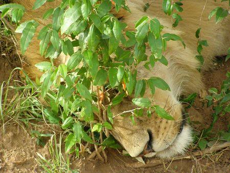samburu: Kenya Safari, Lion in Masai Mara